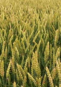 イントレックスフロアブルは小麦など畑作物の主要病害に対応