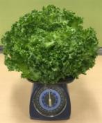 AN で収穫されたリーフレタス(450g超)
