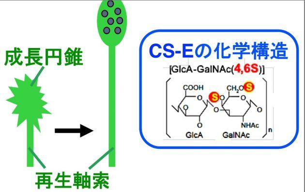 CS-Eは 強力な神経再生阻害因子