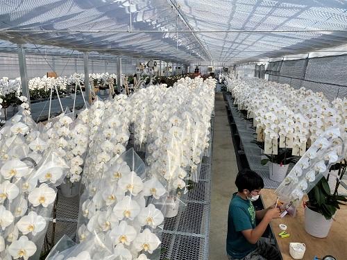 胡蝶蘭を栽培するハウス